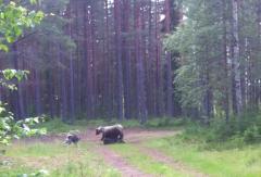 Min Jämthund Hektor skäller på permobjörn