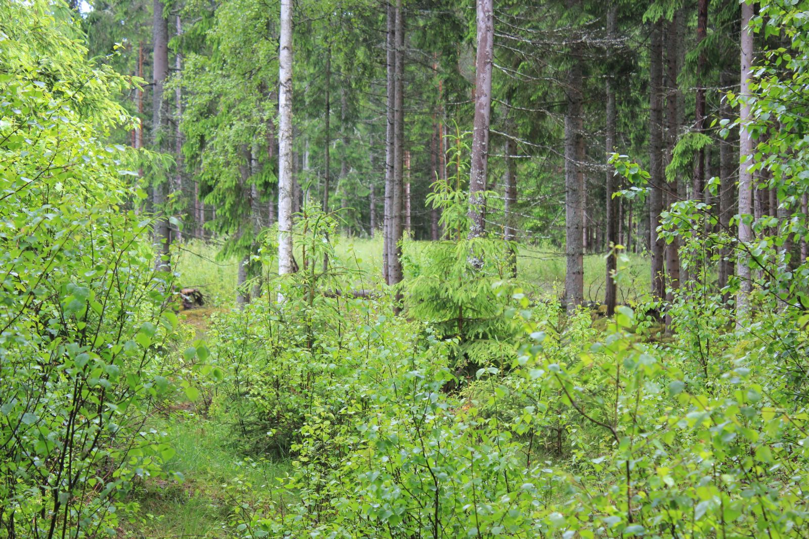 Grytet skymtas precis i skogskanten