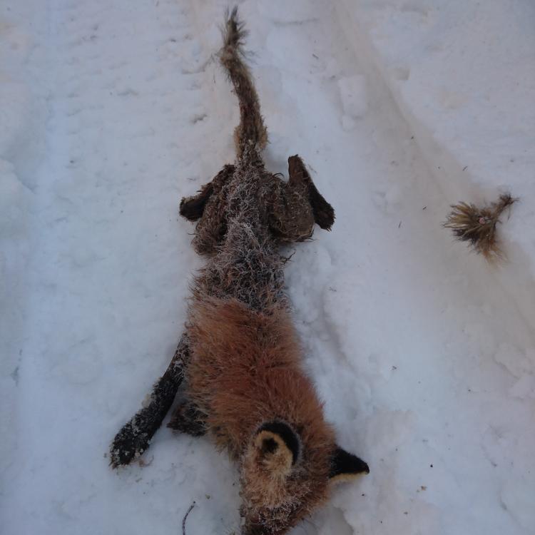 skabb_fox.jpg